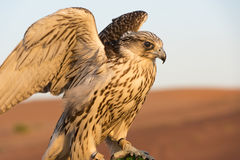 Falcon in the desert of Abu Dhabi, UAE, closeup of falcon bird or bird of prey. Falcon spreading wings in the desert of Abu Dhabi, Middle East stock photography