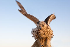 Falcon bird or bird of prey with spreaded wings in Abu Dhabi, Arab Emirates. Falcon with spreaded wings and fluffy feathers in United Arab Emirates -Abu Dhabi royalty free stock image
