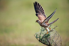 Falcon taking off Royalty Free Stock Image