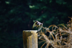 Falcon taking off. A falcon taking off from a fence post Royalty Free Stock Image