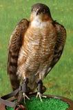 Falcon taxidermy Stock Photos
