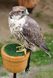 Falcon in tethered Royalty Free Stock Images