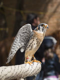 Falcon tinnunculus Royalty Free Stock Images