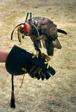 Falcon training Royalty Free Stock Images