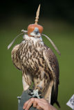 Falcon before training flight. A falcon preparing for a training flight Royalty Free Stock Image