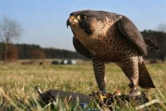 Falcon, training with a lure royalty free stock photo
