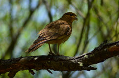Falcon on a tree. Falcon looking for a prey, standing on a tree in Lago Puelo, Patagonia, Argentina Stock Images