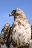 Falcon Trophy royalty free stock images