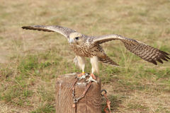 Falcon on the trunk Royalty Free Stock Image