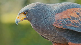 Falcon turns his head Royalty Free Stock Images