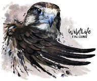 Falcon watercolor painter Stock Images