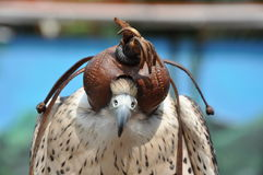 A falcon wearing an eye mask stock image