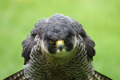 Falcon who is shaking his head Royalty Free Stock Photos