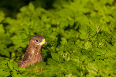 Falcon. `young Falcon on the ground` `young Falcon on the ground Stock Photography