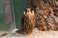 Falcon at the zoo. Beautiful hawk in the zoo looking at the viewer Royalty Free Stock Photography
