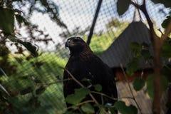 Falcon at zoo in Belgrade Royalty Free Stock Image