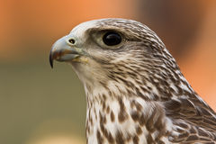 falcon1 Royaltyfria Bilder