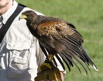 Falconer. Holding harris hawk on glove Royalty Free Stock Image