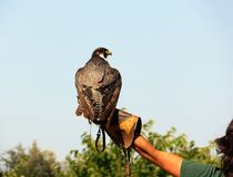 Falconer Stock Image