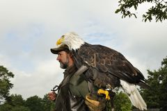 Falconer with Bald eagle Stock Image