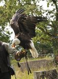 Falconer with Bald eagle Royalty Free Stock Images