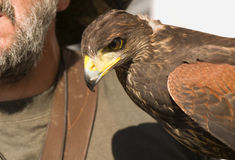 Falconer and buzzard Royalty Free Stock Photography