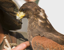 Falconer and buzzard Royalty Free Stock Images