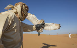 Falconer with a desert tawny Owl in a desert. Near Dubai Royalty Free Stock Photography