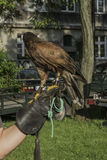 Falconer with falcon. Falconer with his falcon on picnic in ocassion Dragon Parade in Krakow , Poland . Europe Stock Images