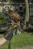Falconer with falcon. Falconer with his falcon on picnic in ocassion Dragon Parade in Krakow , Poland . Europe Stock Image