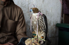 Falconer with falconry falcon. Falconer with his falcon, used for falconry, a favorite arab sport Royalty Free Stock Photos