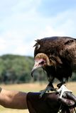Falconer and hooded vulture royalty free stock images