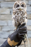 Falconer with owl. A owl perched on the hand of a falconer Royalty Free Stock Image