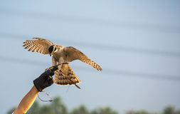 Falconer with Peregrine Falcon crossbred with a Prarie Falcon an Royalty Free Stock Photos