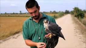 Falconer and a Peregrine Falcon stock video