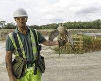 Falconer with working birds. A full time job for a Falconer and his team of raptors that control the seagulls and nuisance birds around working machines Stock Photos
