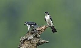 Falconet Blanc-à jambes images libres de droits