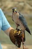 Falconiere Immagine Stock