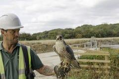 Falconiere con gli uccelli di lavoro fotografie stock libere da diritti
