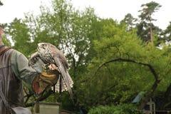 Falconiere con il falco, cherrug del falco. fotografia stock