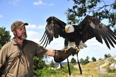 Falconiere con l'aquila calva fotografie stock libere da diritti
