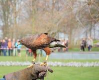 falconry Royaltyfri Fotografi
