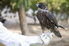 Falconry. Holds a falcon in his garden with a special protective glove Royalty Free Stock Photos