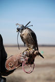 Falconry. Falcon sitting on leather glove stock image