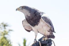 falconry foto de archivo libre de regalías