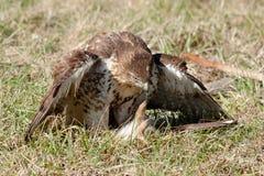 falconry Immagine Stock