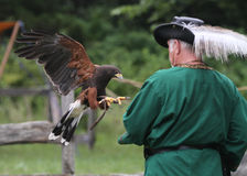 Falconry in action with man, hawk and jesses Royalty Free Stock Photography