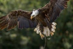 Falconry. American bald eagle bird of prey landing at display. royalty free stock photos