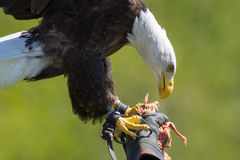 Falconry. American bald eagle on a falconer`s glove at bird of p Royalty Free Stock Photos