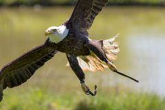 Falconry. American bald eagle at flying bird of prey display. Iconic predator in flight with leather hawk jesses Stock Images